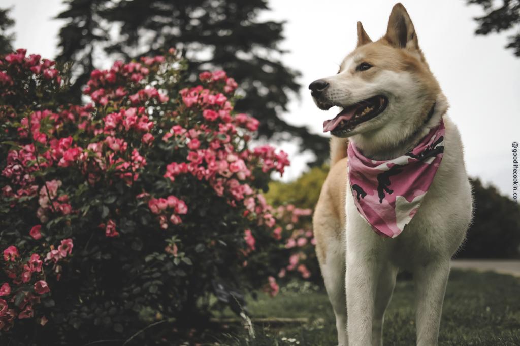 Dog smelling roses